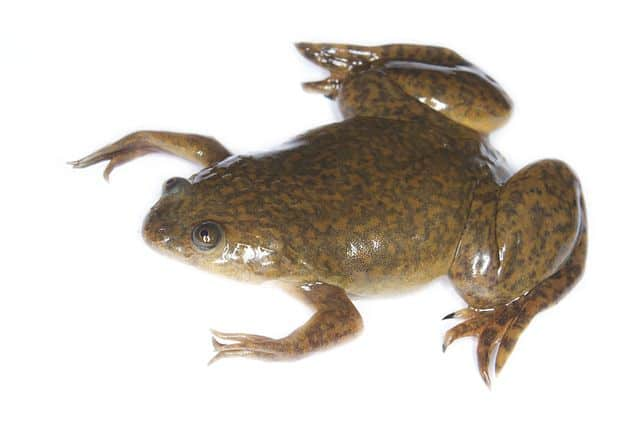 Weird frogs all over the world - clawed frog