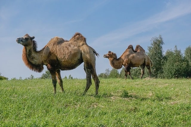 Unusual Mammals Around The World-Bactrian Camel