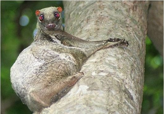 Weird Flying Mammals Around The World- Colugo