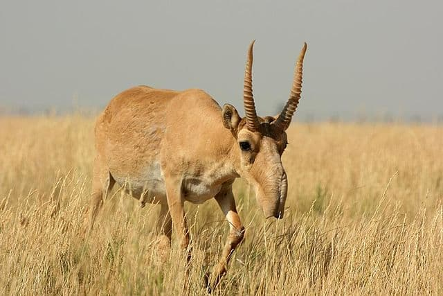 Weird Mammals Around The World - Saiga Antelope