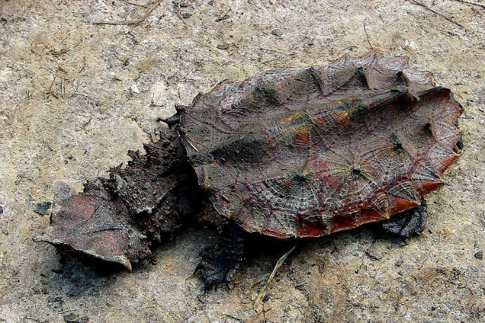 Weird turtles around the world, Mata Mata Turtle