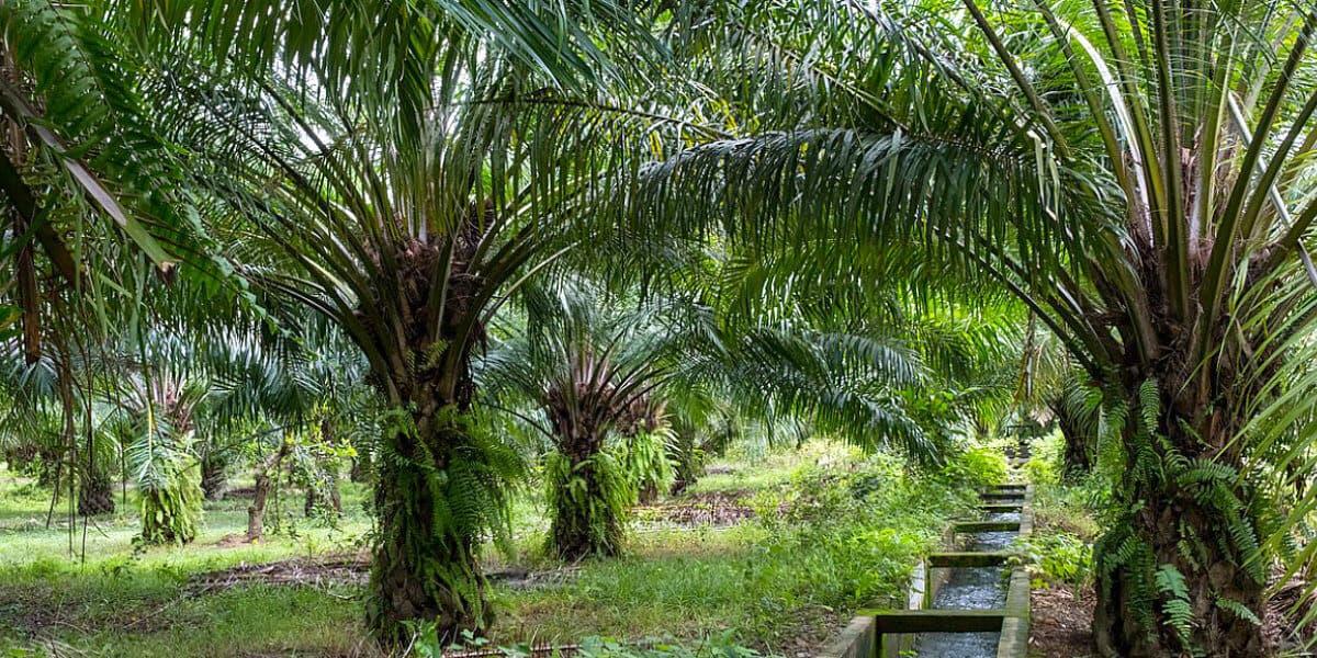 Palm oil plantation. Aborlan, Barangay Sagpangan, Palawan, Philippines. Photograph by Jason Houston for USAID