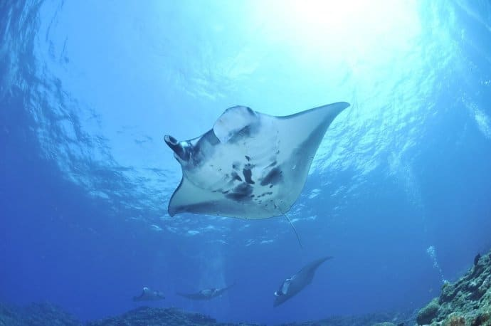 Best Places to Scuba Dive: Manta Rays in Hawaii