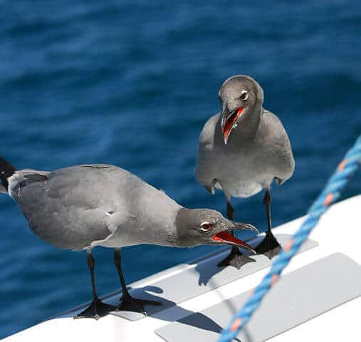 Endemic Galapagos Islands Animals -Lava Gull