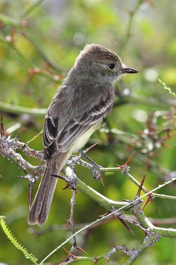 Galapagos Animals -Galapagos Flycatcher Bird