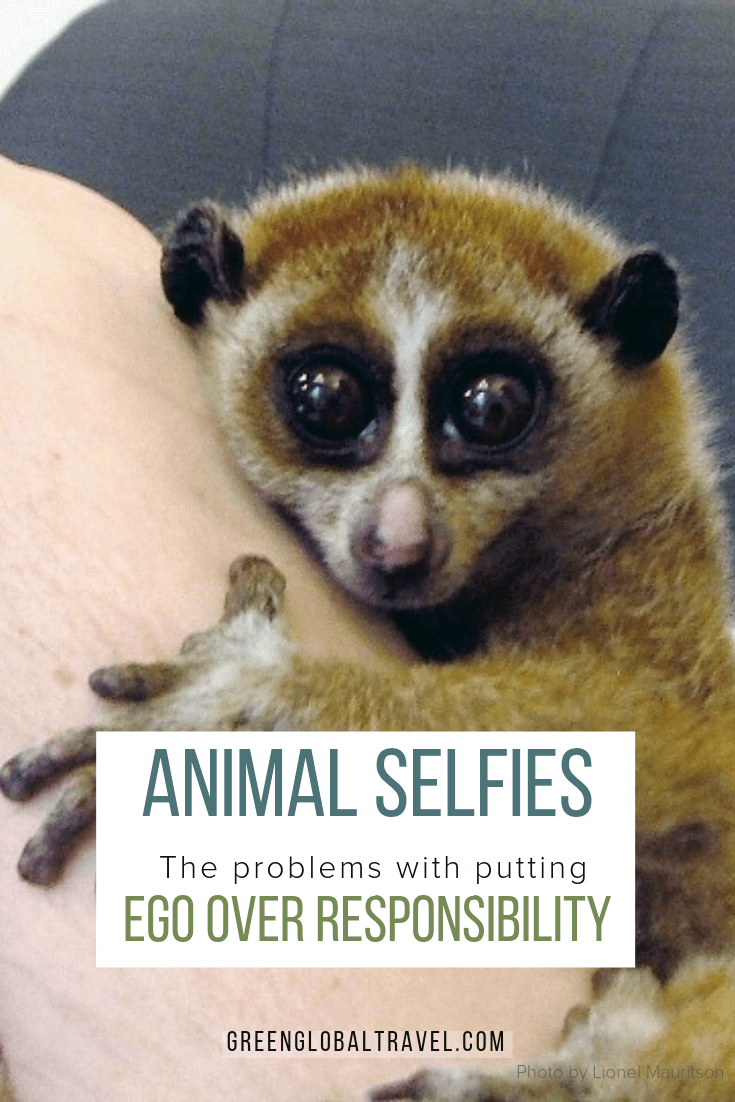 Is your cute animal selfie unintentionally contributing to animal abuse? Learn how to take photos with animals responsibly. via @grreenglobaltrvl #selifes #travelselfieideas #Environmentalism #AnimalAbuse #Ecotourism #TourismProblems #Tourism, #AnimalRights #Animal #Animals #Tourists #Animaleducation