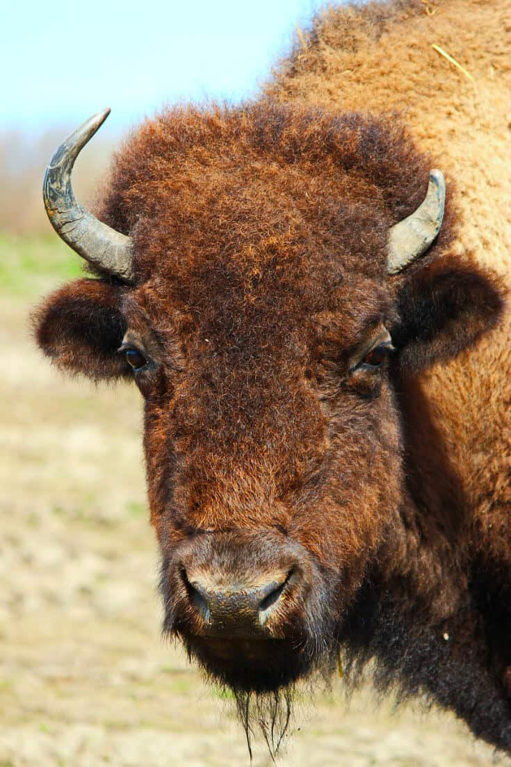 Travel Responsibly and don't approach wildlife (American Bison)