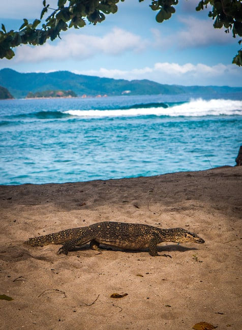 Monitor Lizard in Coron, Palawan
