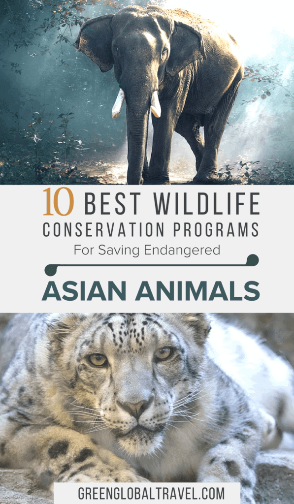 Saving Endangered Animals in Asia, including volunteer ideas for working with endangered species of elephants, pandas, pangolins, orangutans, snow leopards & more! via @greenglobaltrvl