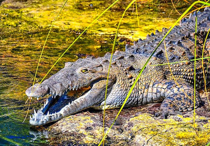 merican Crocodile in Black River, Jamaica