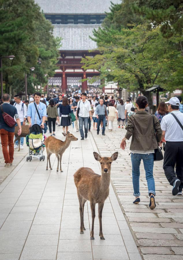 Japan Photos: Deer in Nara