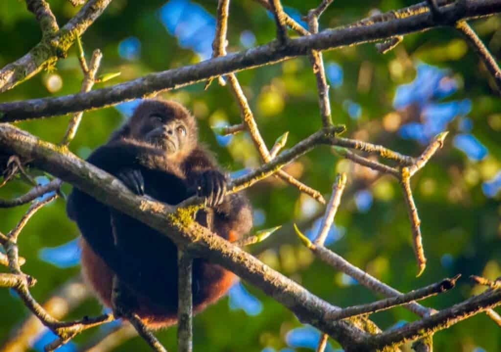 Howler Monkey at Casa Corcovado Jungle Lodge