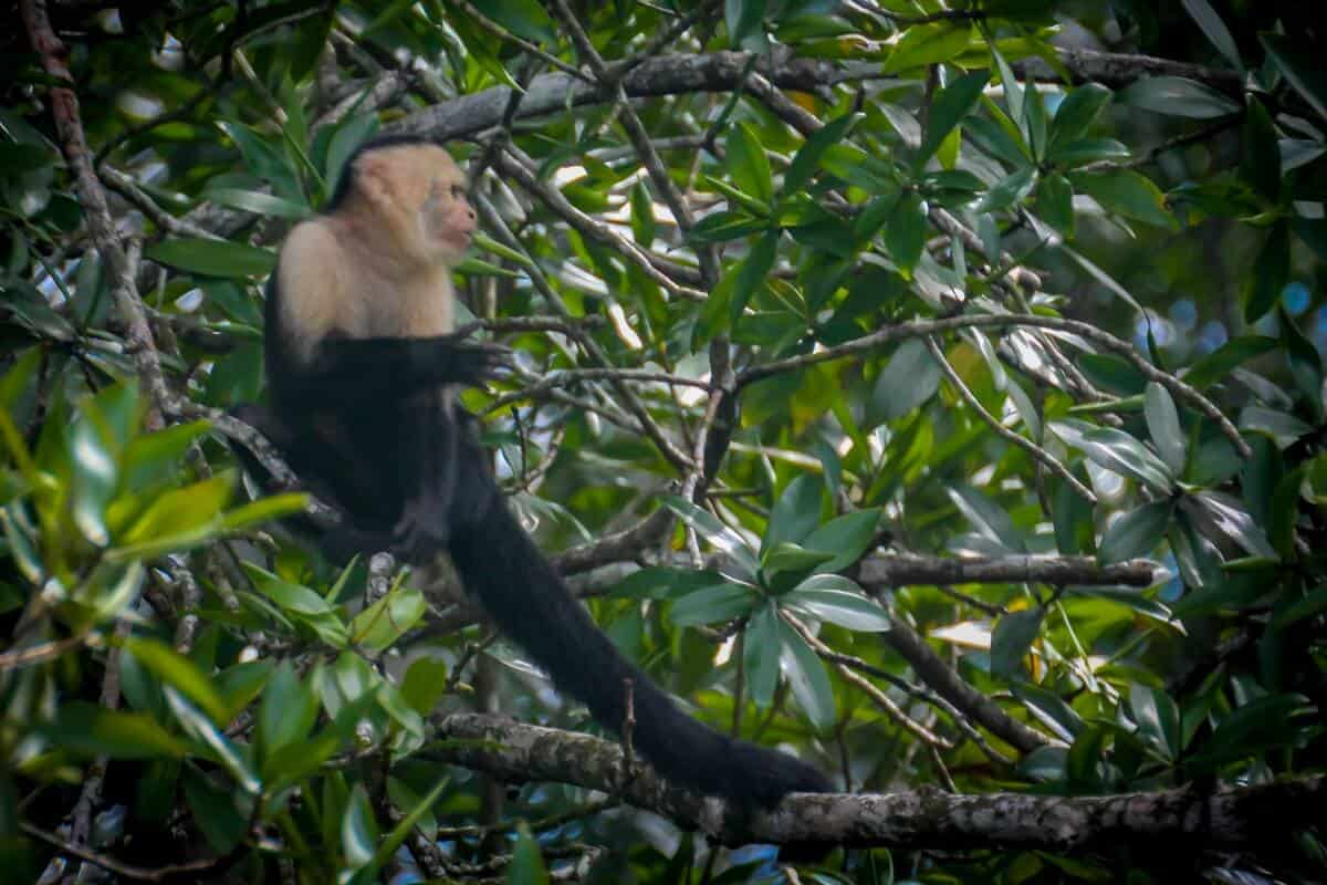 Ecotourism in Costa Rica -Capuchin Monkey in Corcovado National Park