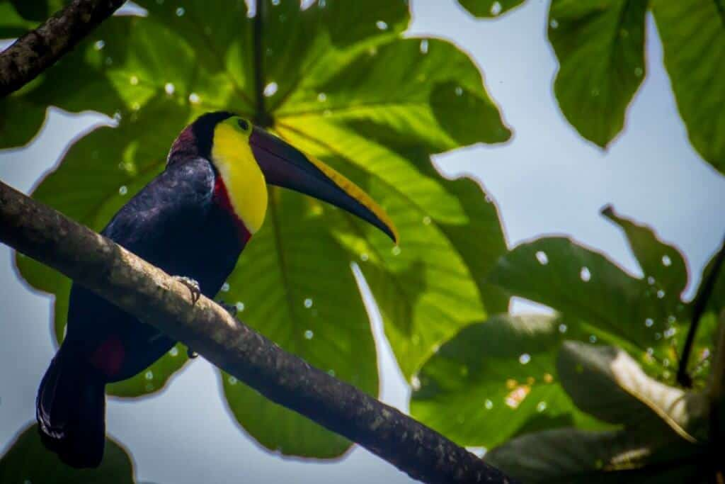 Costa Rica Travel Guide -Toucan in Corcovado National Park