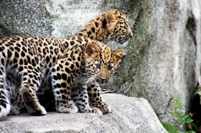 Minnesota Zoo Conservation: Amur Leopard Cubs