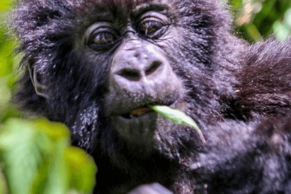 Baby Mountain Gorillas in Rwanda via @greenglobaltrvl