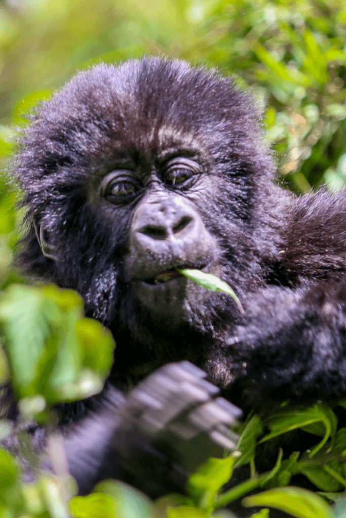 Baby Mountain Gorillas in Rwanda via @greenglobaltrvl