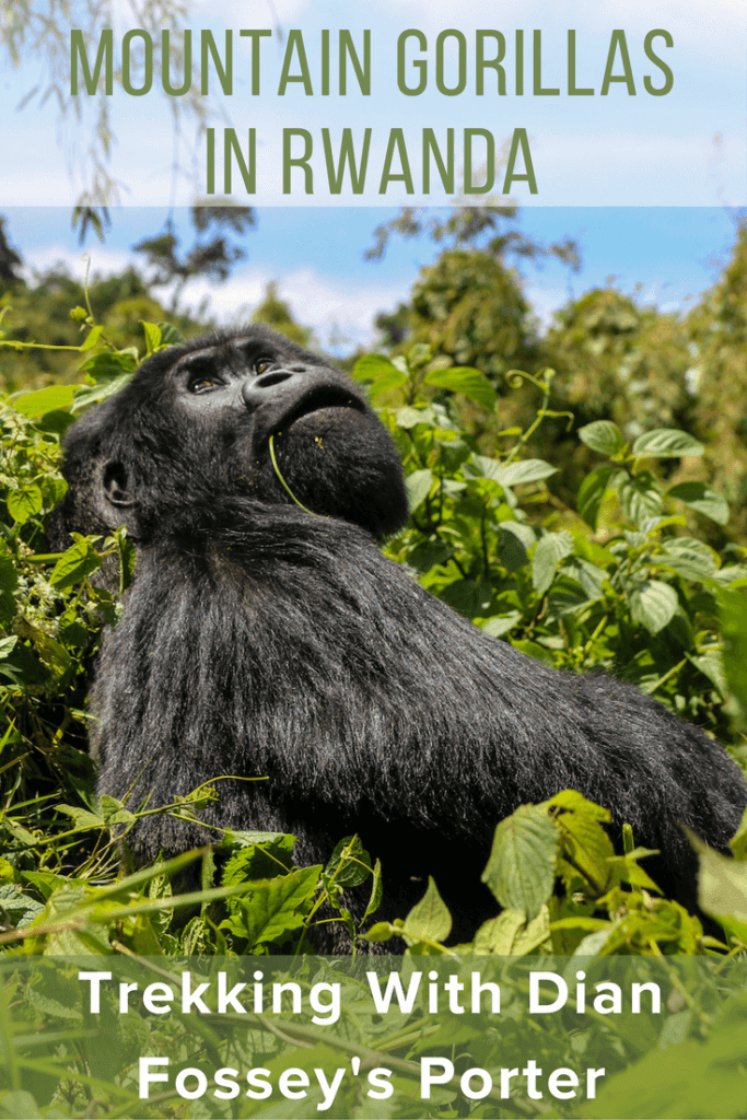 Mountain Gorillas in Rwanda via @greenglobaltrvl