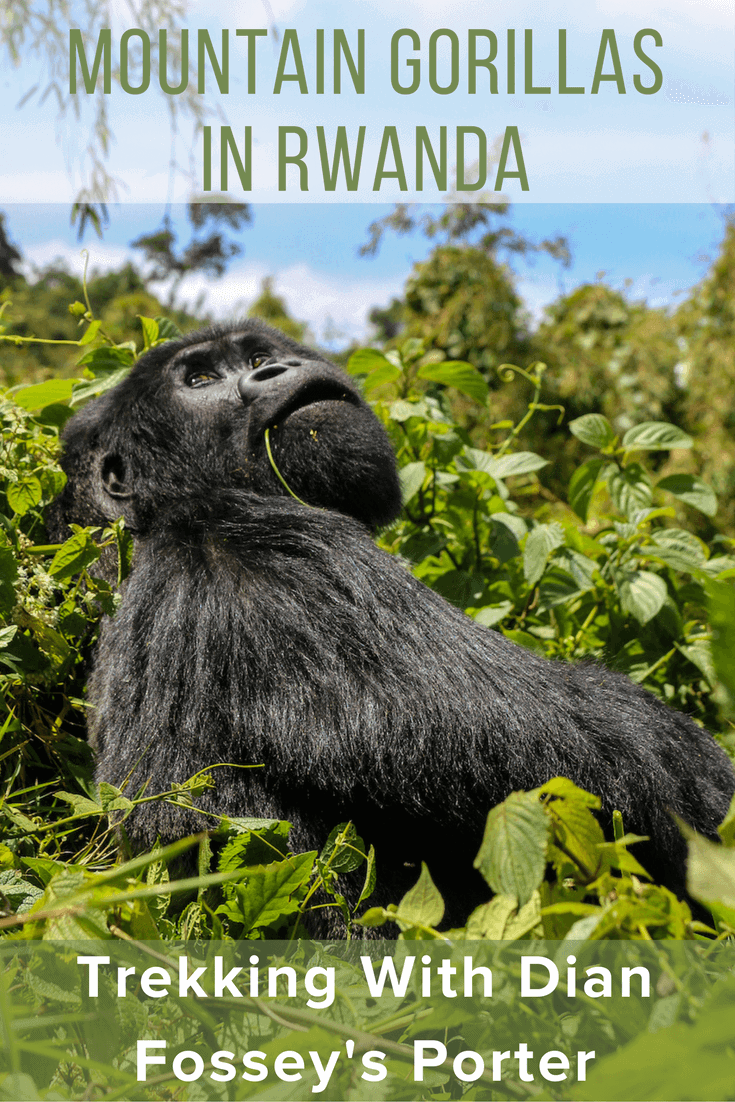 Mountain Gorillas in Rwanda: Trekking w/Dian Fossey's Porter. Hiking Volcanoes National Park's Sabyinyo group w/guide who worked for the iconic primatologist.