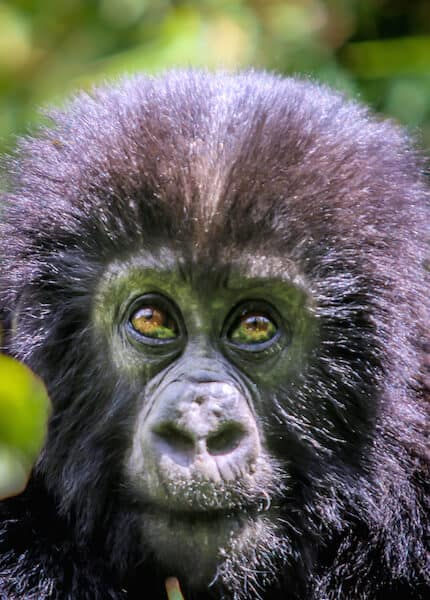 Mountain Gorillas in Rwanda- Baby Closeup via @greenglobaltrvl