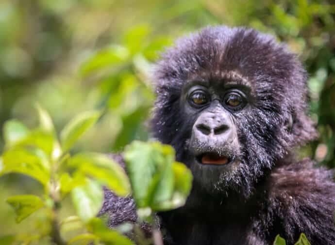 Mountain Gorillas in Rwanda- Baby Gorilla
