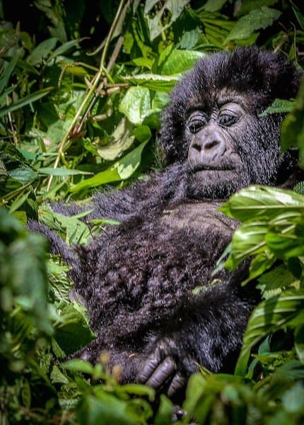 Mountain Gorillas in Rwanda- Baby Napping via @greenglobaltrvl