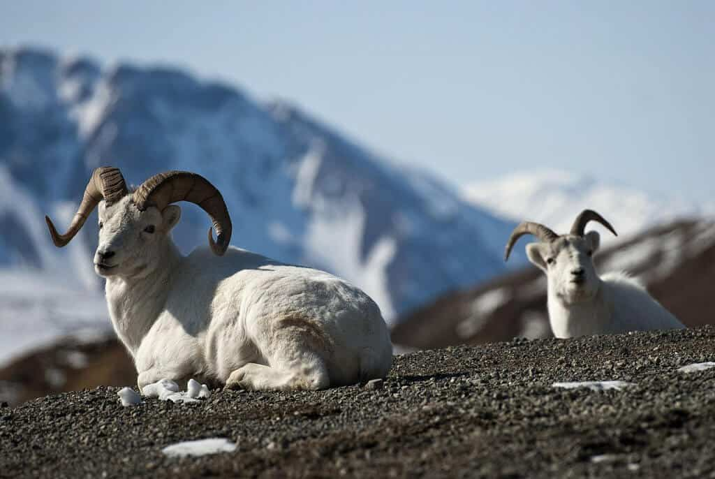 Best National Parks In USA For Wildlife Watching -Denali National Park, Dell Sheep via @greenglobaltrvl