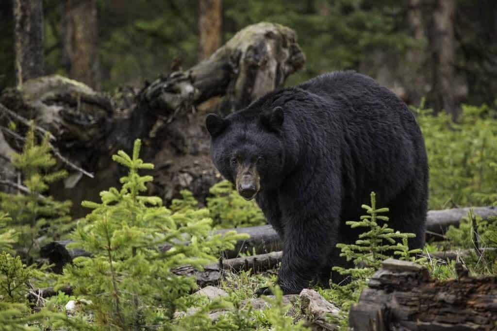 Best National Parks In USA For Wildlife Watching -Great Smoky Mountains National Park, Black Bear via @greenglobaltrvl