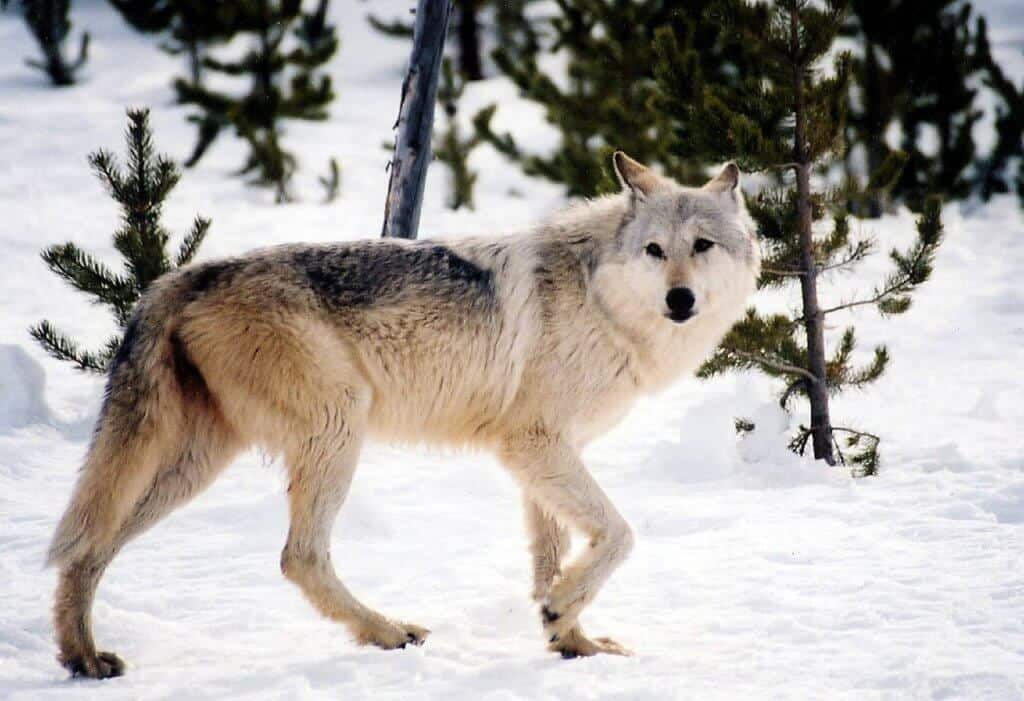 Best National Parks In USA For Wildlife Watching -Yellowstone National Park, Gray Wolf