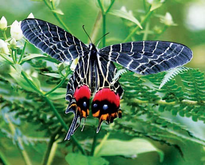 Bhutan Travel Guide - Ludlow's Sallowtail via greenglobaltrvl