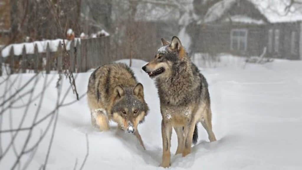 Chernobyl Today: Wolves