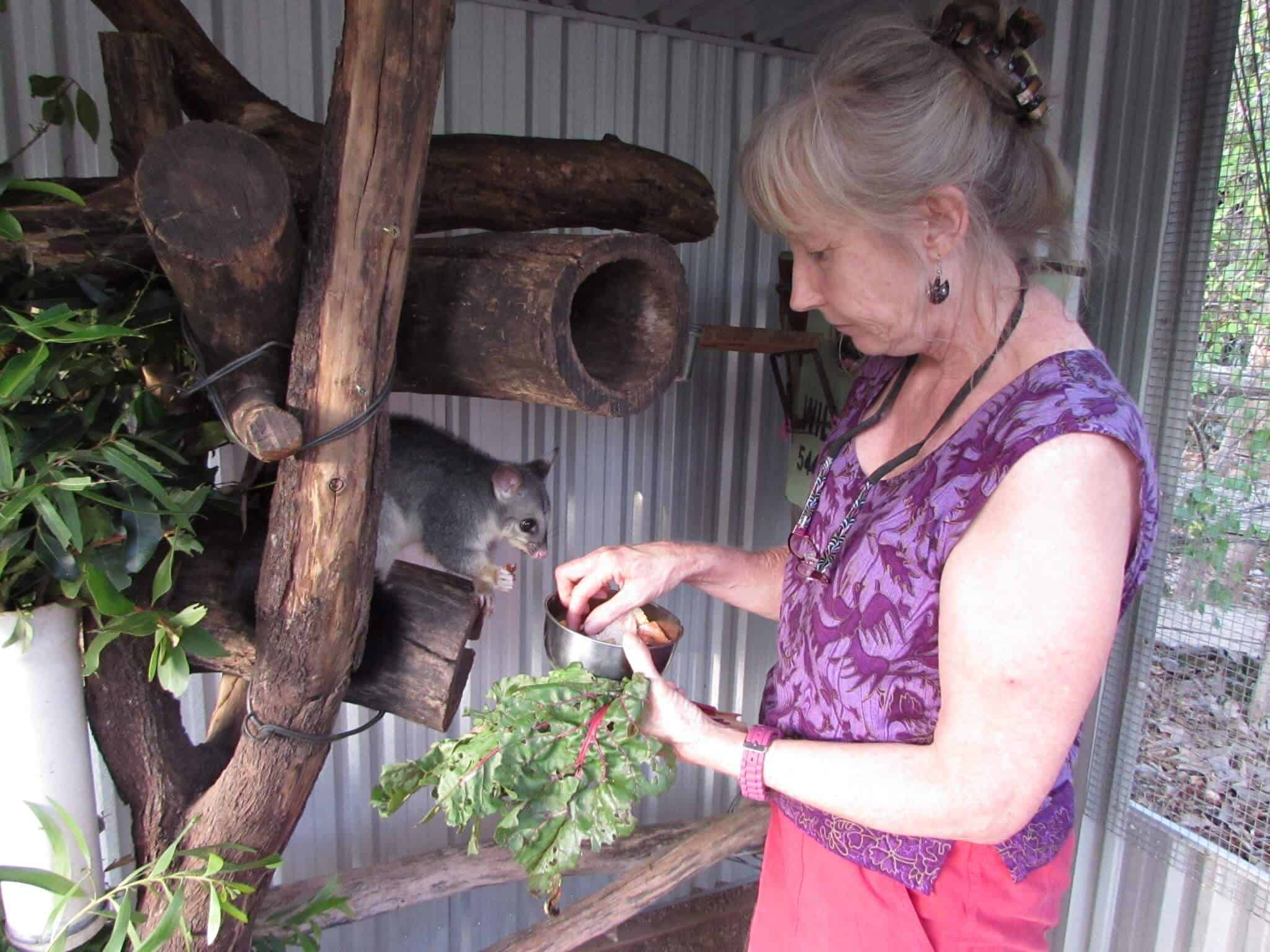 Volunteering at a Kangaroo Sanctuary includes feeding young possums at Oakview Wildlife Refuge via @greenglobaltrvl