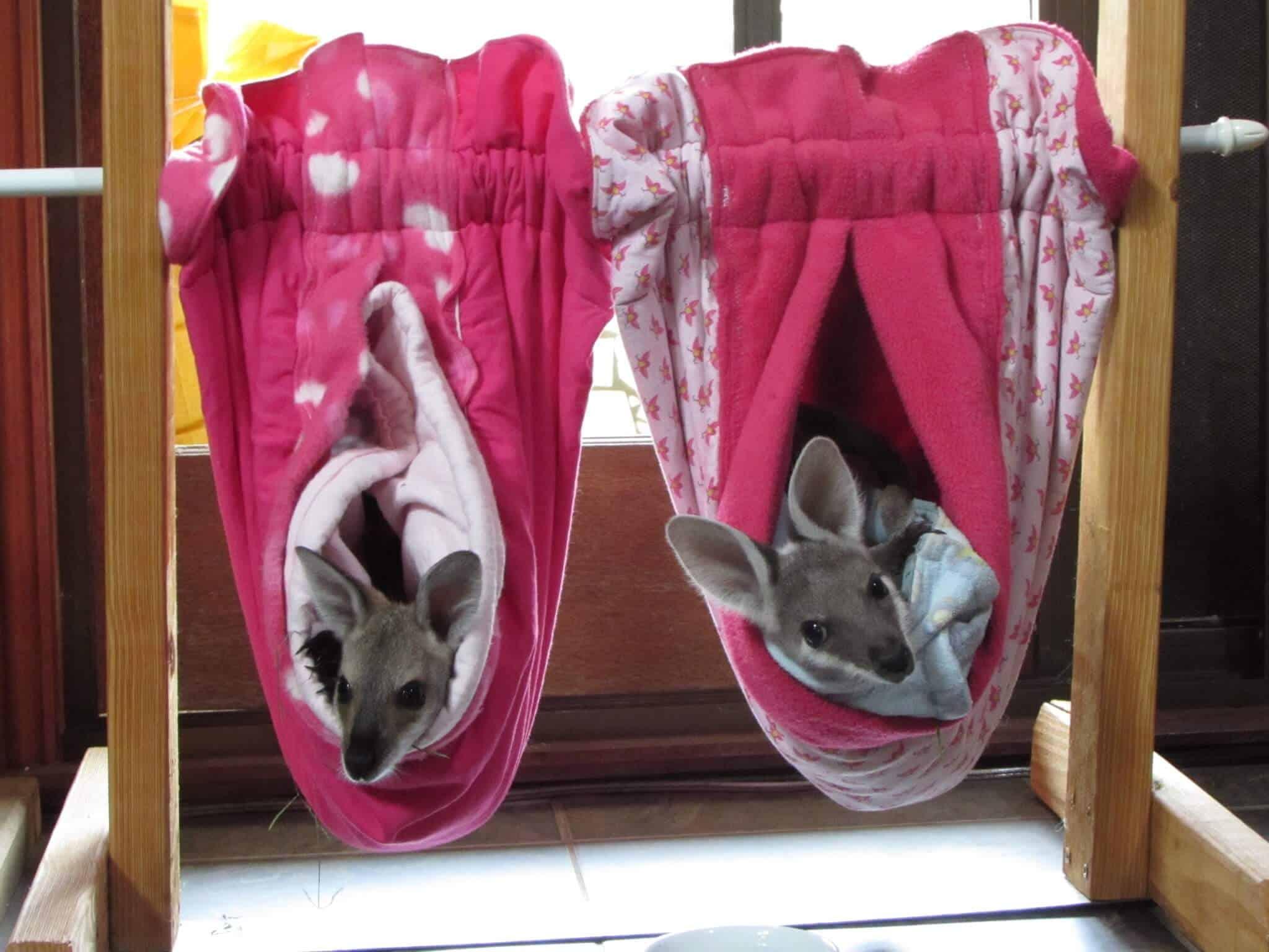 Volunteering at a Kangaroo Sanctuary -baby joeys safe and sound at Oakview Wildlife Refuge via @greenglobaltrvl