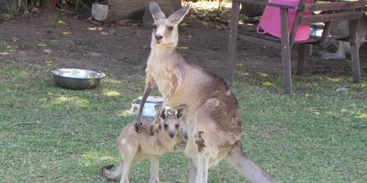 Volunteering at a Kangaroo Sanctuary: