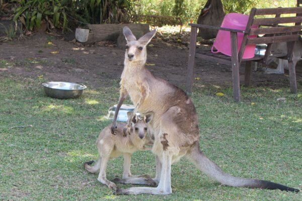 Volunteering at a Kangaroo Sanctuary: