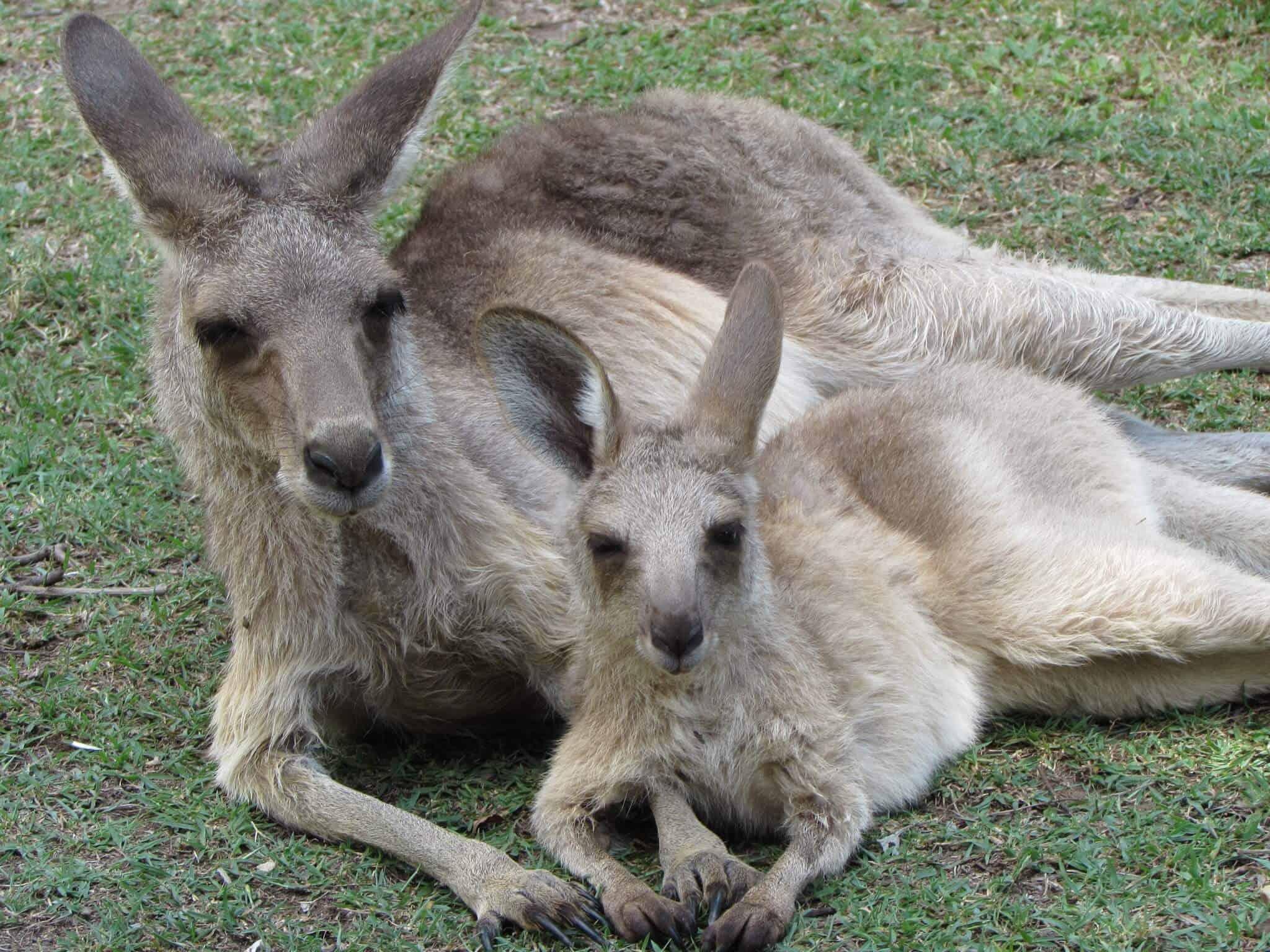Volunteering at a Kangaroo Sanctuary via @greenglobaltrvl