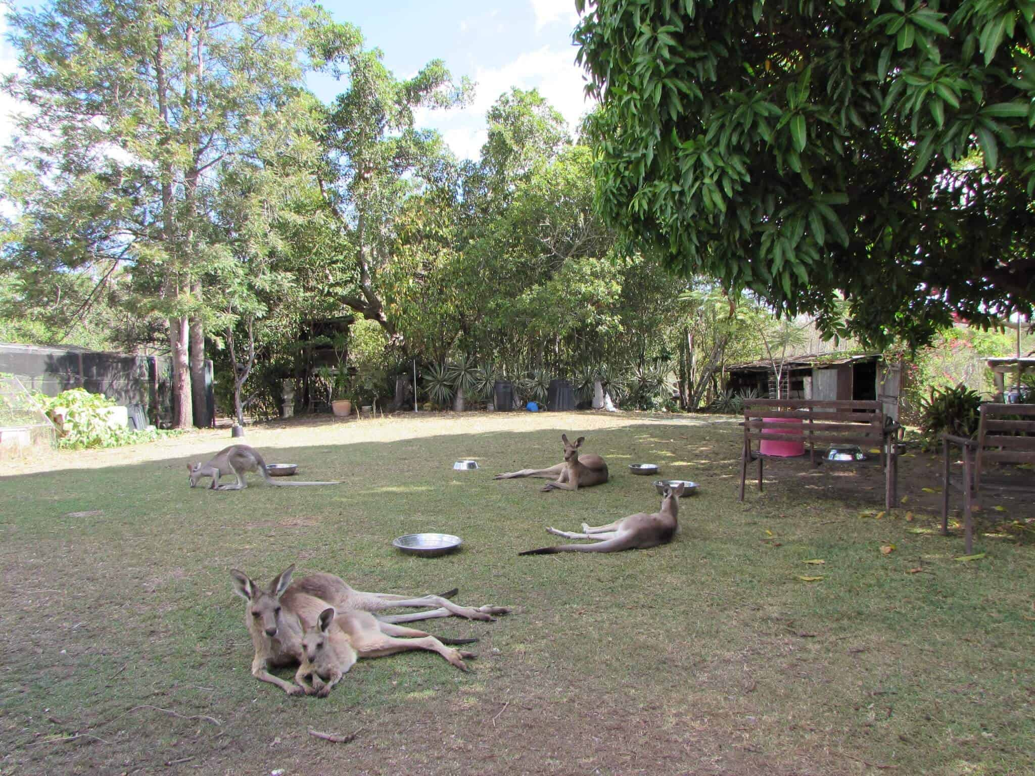 Volunteering at a Kangaroo Sanctuary under the mango tree at Oakview Wildlife Refuge