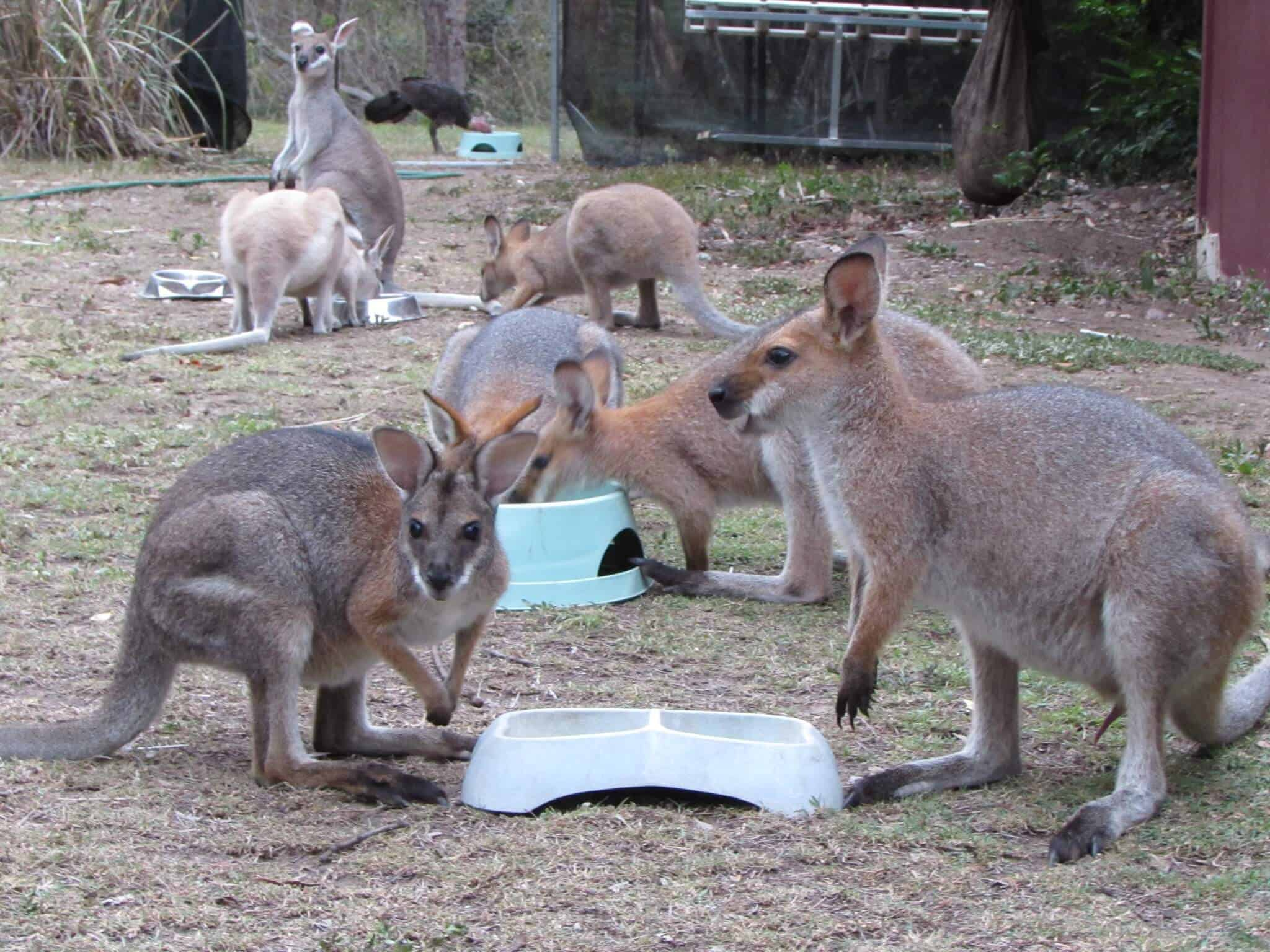 Volunteering at a Kangaroo Sanctuary, baby wallabies eating via @greenglobaltrvl