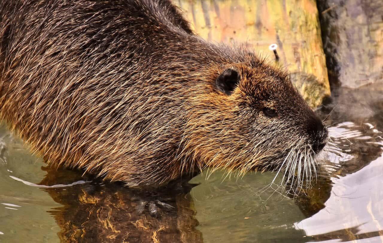 Invasive Species List Destructive Species You Can Eat -Nutria via @greenglobaltrvl