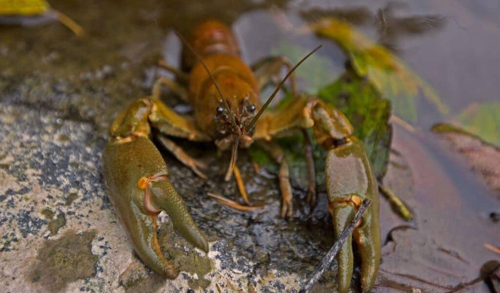 Invasive Species List Destructive Species You Can Eat -Rusty Crayfish