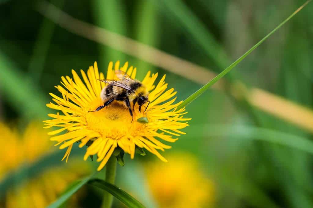 Invasive Species List: 10 Destructive Species You Can Eat -Dandelion via @greenglobaltrvl