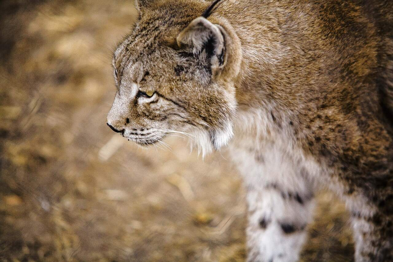 Things to do in Portugal for Nature Lovers- Look for Iberian Lynx