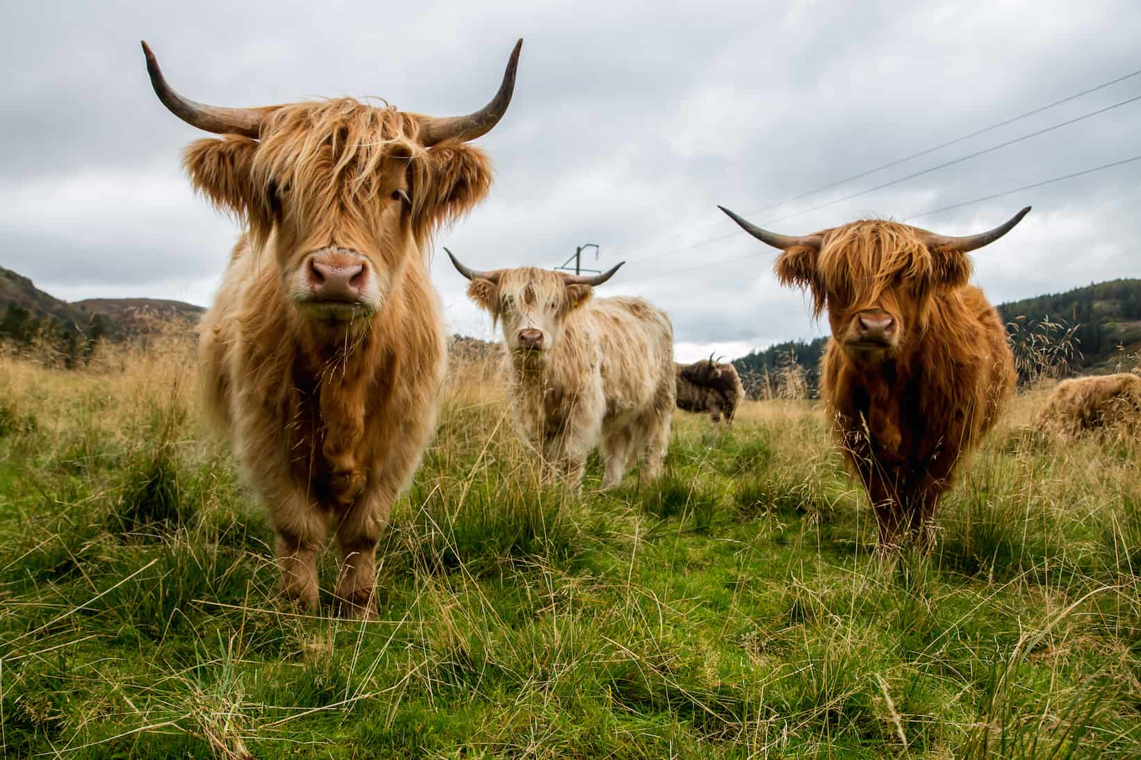 Highland Cattle on Scotland's Isle of Skye