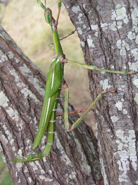 Eastern Goliath Stick Insect (Eurycnema goliath)
