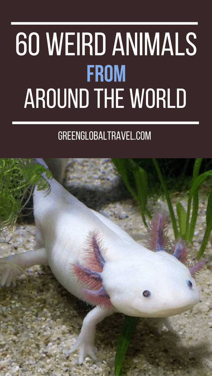 Love unusual wildlife? Check out our epic guide to 60 Weird Animals Around the World, from weird birds, amphibians and reptiles to mammals and marine life. | Weird Animals Facts | Weird Animal Pictures