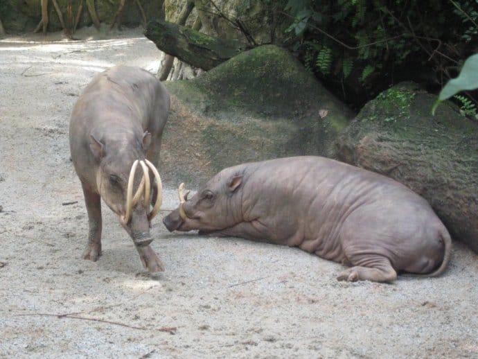 Sulawesi Babirusas at Singapore Zoo