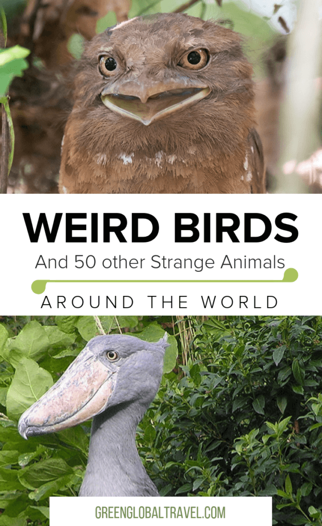 Love animals? Check out our epic guide to 60 Weird Animals Around the World with Cool Animals from the Sea, Weird Birds, Weird Insects, Strange Amphibians & Reptiles, Unique Mammals and Unusual Nocturnal Animals via @greenglobaltrvl #WeirdAnimals, #WeirdAnimalsReal, #WeirdAnimalsThatExist, #WeirdAnimalsCreepy, #WeirdAnimalsOcean #animals #animalsyoudidn'tknowexisted, #animalssea, #animalsrare, #animalscool, #animalsweird