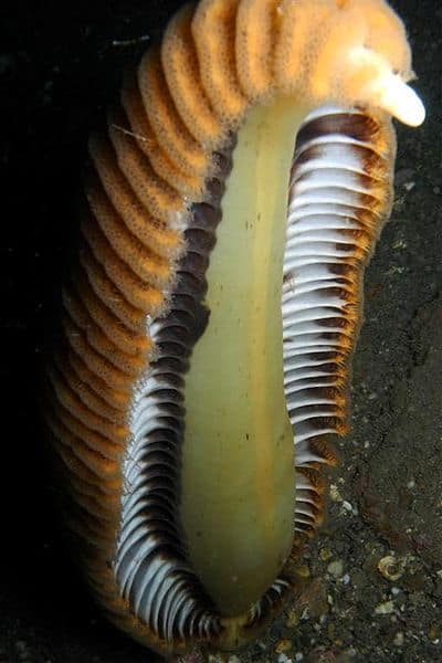 Weird Sea Animals Around The World -Sea Pen