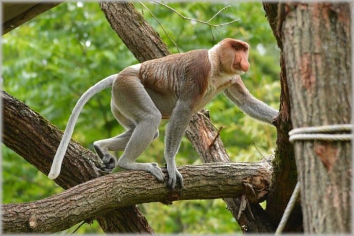 Proboscis Monkey at Sepilok Forest Reserve
