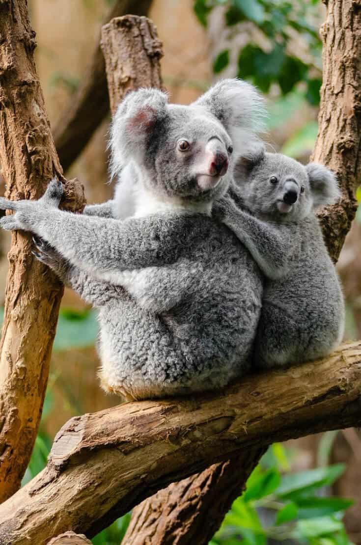 Kangaroo Island Australian Road Trip- Koala Bears via greenglobaltrvl
